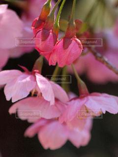 花,春,桜,木,ピンク,花見,花びら,サクラ,つぼみ,お花見,イベント,八重桜,可憐,草木,ブロッサム