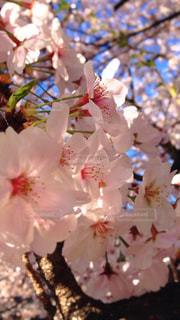 空,花,春,木,ピンク,朝日,青空,花見,鮮やか,満開,お花見,イベント,快晴,陽射し,草木,桜の花,輝き,ソメイヨシノ,さくら,透け,ブルーム,ブロッサム