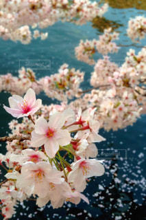 花,春,木,ピンク,花見,景色,花びら,鮮やか,お花見,イベント,陽射し,草木,穏やか,川面,ブルーム,ブロッサム,春日和