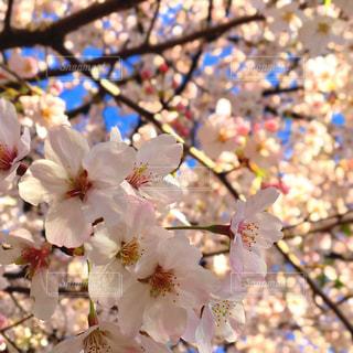 花,春,桜,木,屋外,ピンク,花見,景色,サクラ,満開,樹木,お花見,イベント,快晴,陽射し,草木,桜の花,ソメイヨシノ,さくら,陽気,ブルーム,ブロッサム,春空