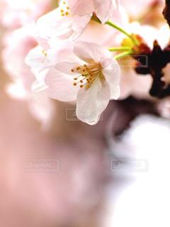 花,春,桜,木,雨,花見,花びら,サクラ,お花見,イベント,しずく,コピースペース,草木,ブルーム,ブロッサム