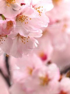 花,春,桜,木,雨,ピンク,花見,景色,花びら,サクラ,お花見,イベント,たくさん,八重桜,陽射し,しずく,草木,ブルーム,ブロッサム