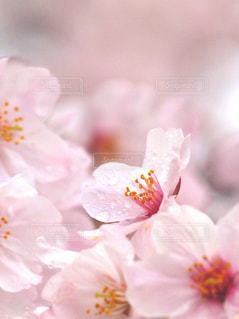 花,春,桜,木,ピンク,花見,景色,花びら,サクラ,お花見,イベント,陽射し,コピースペース,クローズアップ,草木,望遠レンズ,ブルーム,ブロッサム