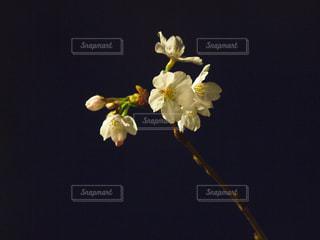 花,春,桜,夜,木,白,花見,夜桜,サクラ,お花見,イベント,ハイライト,草木,ソメイヨシノ,ブルーム,フローラ