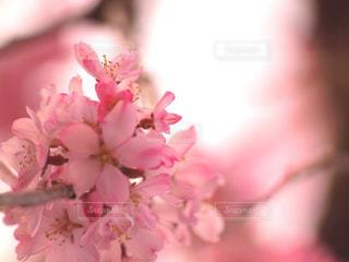 花,春,桜,木,ピンク,花見,サクラ,お花見,イベント,夕陽,陽射し,枝垂れ桜,可憐,草木,桜の花,輝き,ブルーム,ブロッサム