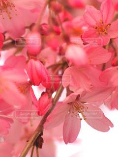 花,春,桜,ピンク,花見,景色,サクラ,お花見,イベント,枝垂れ桜,優雅,可憐,草木,ブルーム,ブロッサム