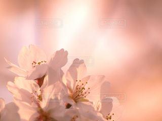 花,春,桜,木,花見,花びら,サクラ,満開,お花見,イベント,夕陽,コピースペース,草木,輝き,ソメイヨシノ,望遠レンズ,ブルーム,ブロッサム,緋色