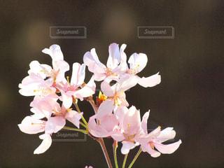 花,春,桜,屋内,木,白,花見,サクラ,お花見,イベント,風,草木,ブルーム,ブロッサム,春一番,早咲き,フローラ