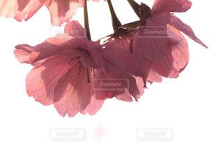 花,春,桜,木,花見,影,サクラ,樹木,お花見,イベント,八重桜,草木,輝き