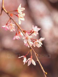 花,春,桜,木,枝,花見,花びら,サクラ,樹木,お花見,イベント,風,夕陽,枝垂れ桜,可憐,草木,ブロッサム,春風