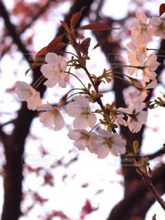 花,春,桜,木,枝,花見,サクラ,樹木,お花見,イベント,草木,桜の花,ソメイヨシノ,穏やか,さくら,ブルーム,ブロッサム