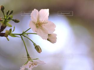 花,春,桜,木,白,花見,花びら,木漏れ日,光,サクラ,お花見,イベント,陽射し,草木,ソメイヨシノ,ブルーム,ブロッサム