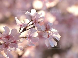 花,春,桜,木,ピンク,花見,お花見,イベント,草木,桜の花,ソメイヨシノ,さくら,ブルーム,ブロッサム,春風
