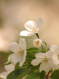 花,春,桜,木,緑,白,花見,爽やか,お花見,新緑,イベント,陽射し,清楚,草木,葉桜,ブルーム,ブロッサム,フローラ