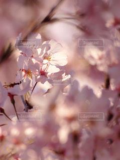 花,春,桜,木,ピンク,花見,満開,お花見,イベント,草木,桜の花,ソメイヨシノ,さくら,望遠レンズ,ブルーム,ブロッサム,ピンホール