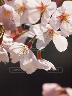 花,春,桜,木,ピンク,サクラ,お花見,イベント,可愛い,風,桜色,陽射し,色彩,草木,桜の花,さくら,望遠レンズ,ブルーム,ブロッサム,フローラ
