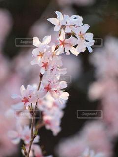 花,春,桜,木,ピンク,花見,景色,花びら,サクラ,お花見,イベント,風,陽射し,草木,桜の花,さくら,ブルーム,ブロッサム,早咲き,春風