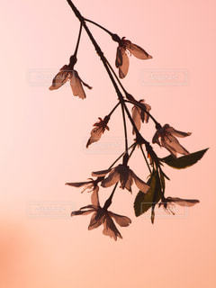 空,花,春,桜,木,夕焼け,夕暮れ,枝,葉,花見,花びら,サクラ,お花見,イベント,風,枝垂れ桜,草木,春風