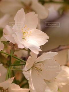 花,春,桜,木,花見,景色,花びら,サクラ,お花見,イベント,スポットライト,陽射し,草木,ソメイヨシノ,ブルーム,ブロッサム,春色,フローラ