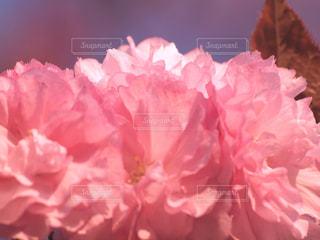 花,桜,木,ピンク,花見,花びら,サクラ,お花見,オシャレ,イベント,八重桜,陽射し,草木,フリル,ブルーム,ブロッサム