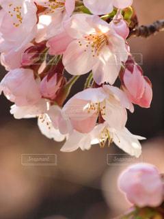 花,春,木,ピンク,花束,晴れ,花見,景色,花びら,優しい,お花見,イベント,陽射し,草木,ソメイヨシノ,穏やか,陽気,ブルーム,そよ風,ブロッサム