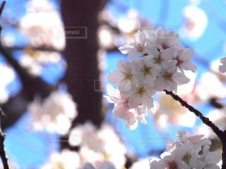 空,花,春,桜,木,晴れ,青空,花見,景色,お花見,イベント,木陰,陽射し,草木,桜の花,ソメイヨシノ,さくら,ブルーム,ブロッサム