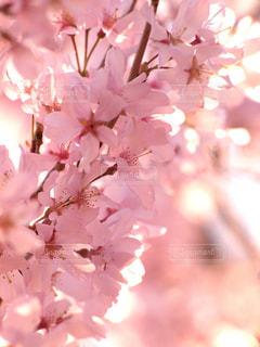 花,春,桜,木,温かい,花見,満開,お花見,イベント,陽射し,草木,桜の花,輝き,さくら,ブルーム,ブロッサム,春の陽