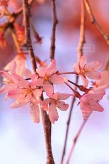 花,春,桜,木,ピンク,枝,花見,花びら,サクラ,樹木,お花見,イベント,陽射し,枝垂れ桜,草木,桜の花,さくら,望遠レンズ,ブルーム,ブロッサム
