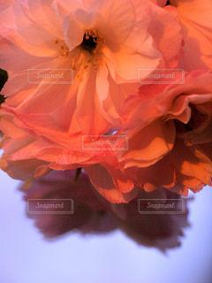 花,春,桜,木,夕焼け,花見,花びら,オレンジ,サクラ,お花見,イベント,夕陽,八重桜,草木,フリル,マクロ,望遠レンズ