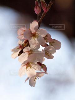 花,春,桜,木,白,花見,花びら,サクラ,お花見,イベント,木陰,夕陽,草木,桜の花,ソメイヨシノ,さくら,望遠レンズ,ブルーム,ブロッサム