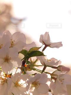 花,春,桜,木,花見,花びら,光,サクラ,満開,お花見,イベント,陽光,陽射し,草木,ソメイヨシノ,望遠レンズ,ブルーム,ブロッサム,フローラ