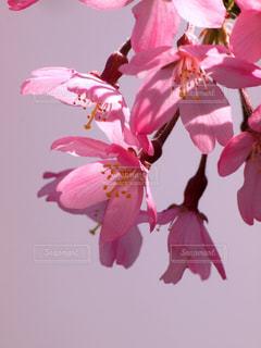 花,春,桜,木,ピンク,花見,花びら,鮮やか,サクラ,お花見,イベント,枝垂れ桜,クローズアップ,草木,マクロ,望遠レンズ,ブルーム,ブロッサム