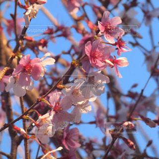 空,花,春,桜,木,屋外,枝,花見,景色,花びら,鮮やか,サクラ,樹木,紅白,お花見,イベント,草木,桜の花,さくら,ブルーム,ブロッサム