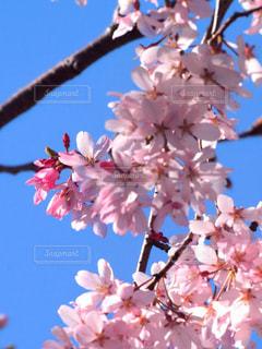 ピンク色の妖精の写真・画像素材[3051949]