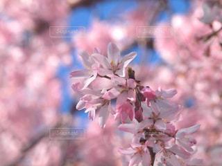 花,春,桜,木,ピンク,青空,花見,サクラ,満開,お花見,イベント,陽射し,枝垂れ桜,草木,桜の花,さくら,ブルーム,ブロッサム