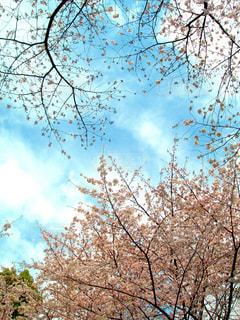 桜の空を見上げての写真・画像素材[3056543]