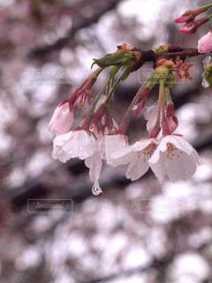 花,春,桜,木,雨,雪,花見,景色,花びら,パープル,サクラ,つぼみ,お花見,イベント,しずく,草木,ソメイヨシノ,ブルーム,ブロッサム,花冷え,フローラ