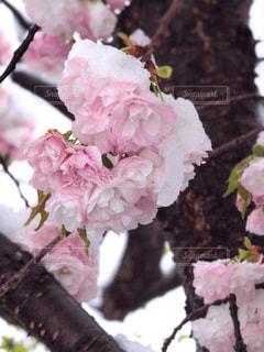 花,春,桜,木,雪,ピンク,花見,景色,花びら,サクラ,お花見,イベント,八重桜,草木,ブルーム,ブロッサム