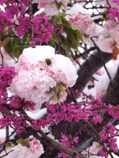 風景,花,春,桜,木,雪,ピンク,紫,花見,景色,花びら,鮮やか,サクラ,お花見,イベント,草木,桜の花,トッピング,ブルーム,ブロッサム