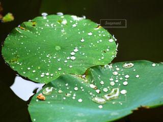 蓮の葉の雫の写真・画像素材[3143231]