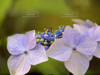 紫陽花のクローズアップの写真・画像素材[3157610]