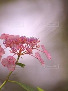 水辺に輝くピンク色のガクアジサイの写真・画像素材[3376294]