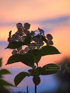 夕陽に染まるガクアジサイの写真・画像素材[3383312]