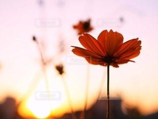 夕陽のキバナコスモスの写真・画像素材[3398121]