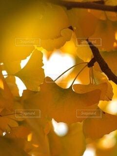 黄葉のトンネルの写真・画像素材[3782501]