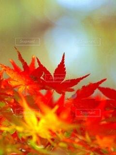 秋、真っ盛りの写真・画像素材[3808745]