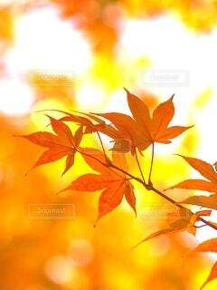黄金色の秋の写真・画像素材[3813103]