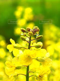 菜の花と雨雫の写真・画像素材[4295022]