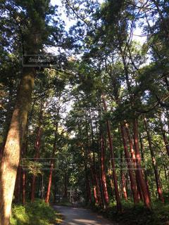 森の木の写真・画像素材[2218004]