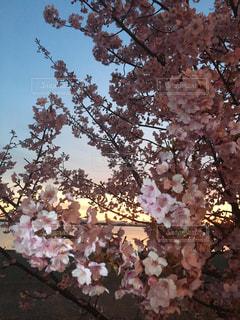 空,花,春,桜,木,綺麗,フラワー,散歩,花見,満開,美しい,朝焼け,樹木,お花見,イベント,朝,flower,早朝,flowers,草木,Spring,桜の花,さくら,花見酒
